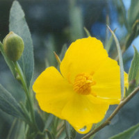 California Bush Poppy