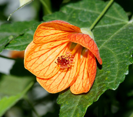 Abutilon (Flowering maple)