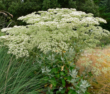 Buckwheat [Eriogonum giganteum]