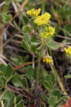 Buckwheat [Eriogonum umbellatum]