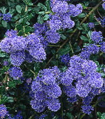 California Wild Lilac (Ceanothus Dark Star)
