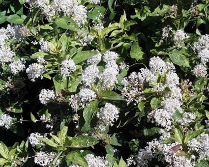 California Wild Lilac (Ceanothus americanus)