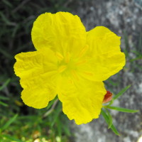 Calylophus drummondii