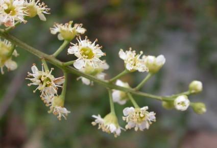 Catalina Cherry Flowers (Prunus ilicifolia)