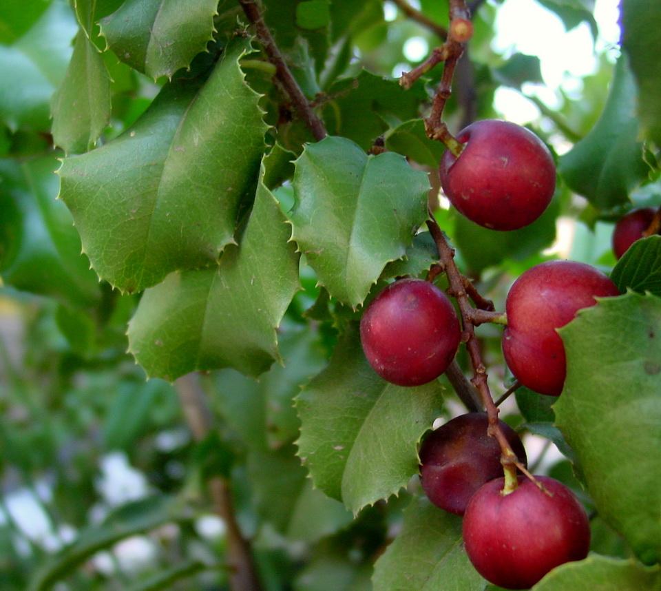 Catalina Cherry (Prunus ilicifolia)