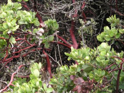 Manzanita Shrub Branches