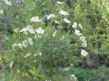 Toyon (Carpenteria californica)