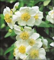Toyon Flowers (Carpenteria californica)