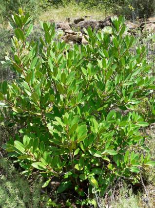 Toyon-Heteromelesarbutifolia