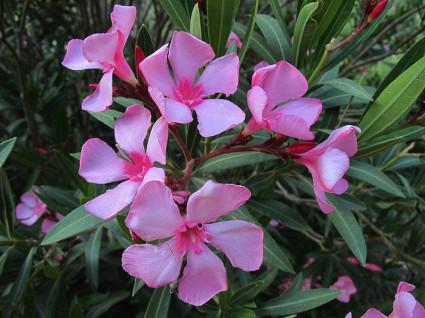 nerium-oleander-1