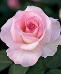 rose pink promise
