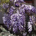 wisteria cooke's purple